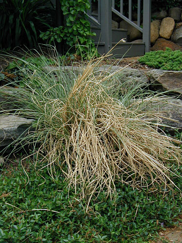 When To Cut Ornamental Grasses Cut back ornamental grass or youll face a nightmare landscapeadvisor a workwithnaturefo