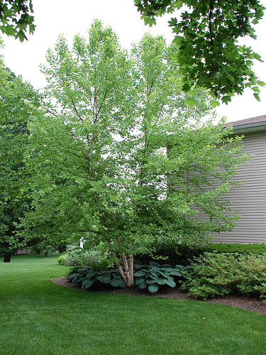 Ornamental Tree A Key Element In Landscape Design