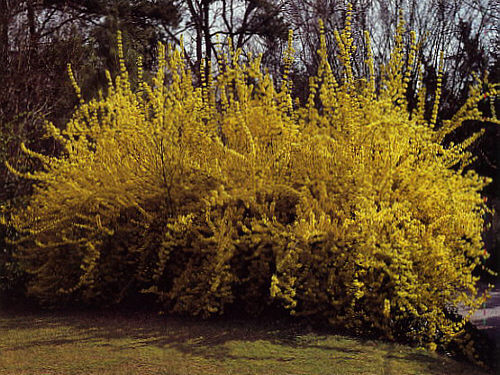 Forsythia should you use them in your landscape - Forsythia x intermedia ...