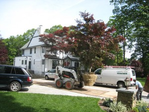 Japanese Maple and skid steer