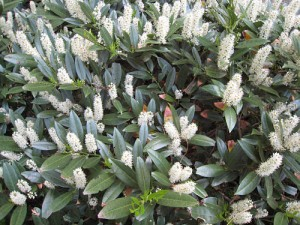 cherry laurel 'otto luyken'