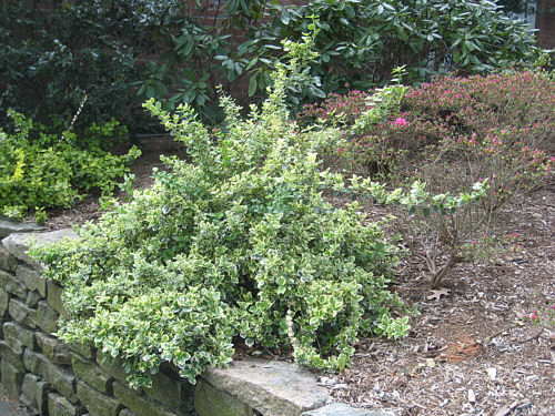 how to prune euonymus 39 emerald gaiety and gold. Black Bedroom Furniture Sets. Home Design Ideas