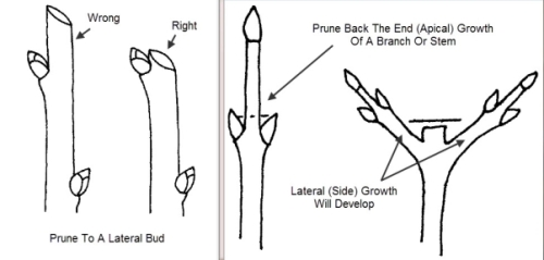 diagram of pruning points