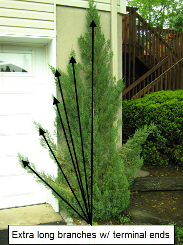 upright juniper pruned