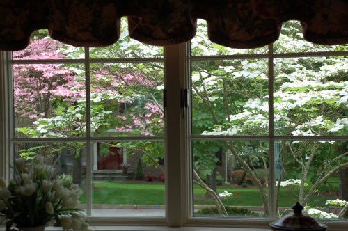 flowering dogwood through a window
