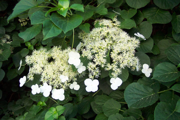 Horticulturist that dabbles in design exploring the different bloom time is in midsummer with delicate white flowers and oval shaped leaves also grows well in containers just less vigorous hydrangea arborescence mightylinksfo